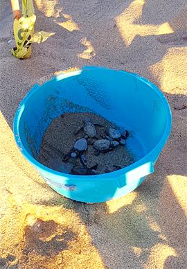 basse-californie-du-sud-todos-santos-tortues